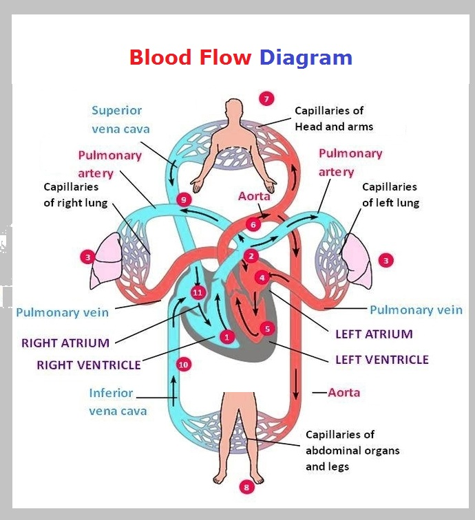 blood-flow-diagram