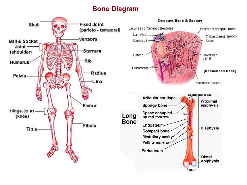 bone-diagram