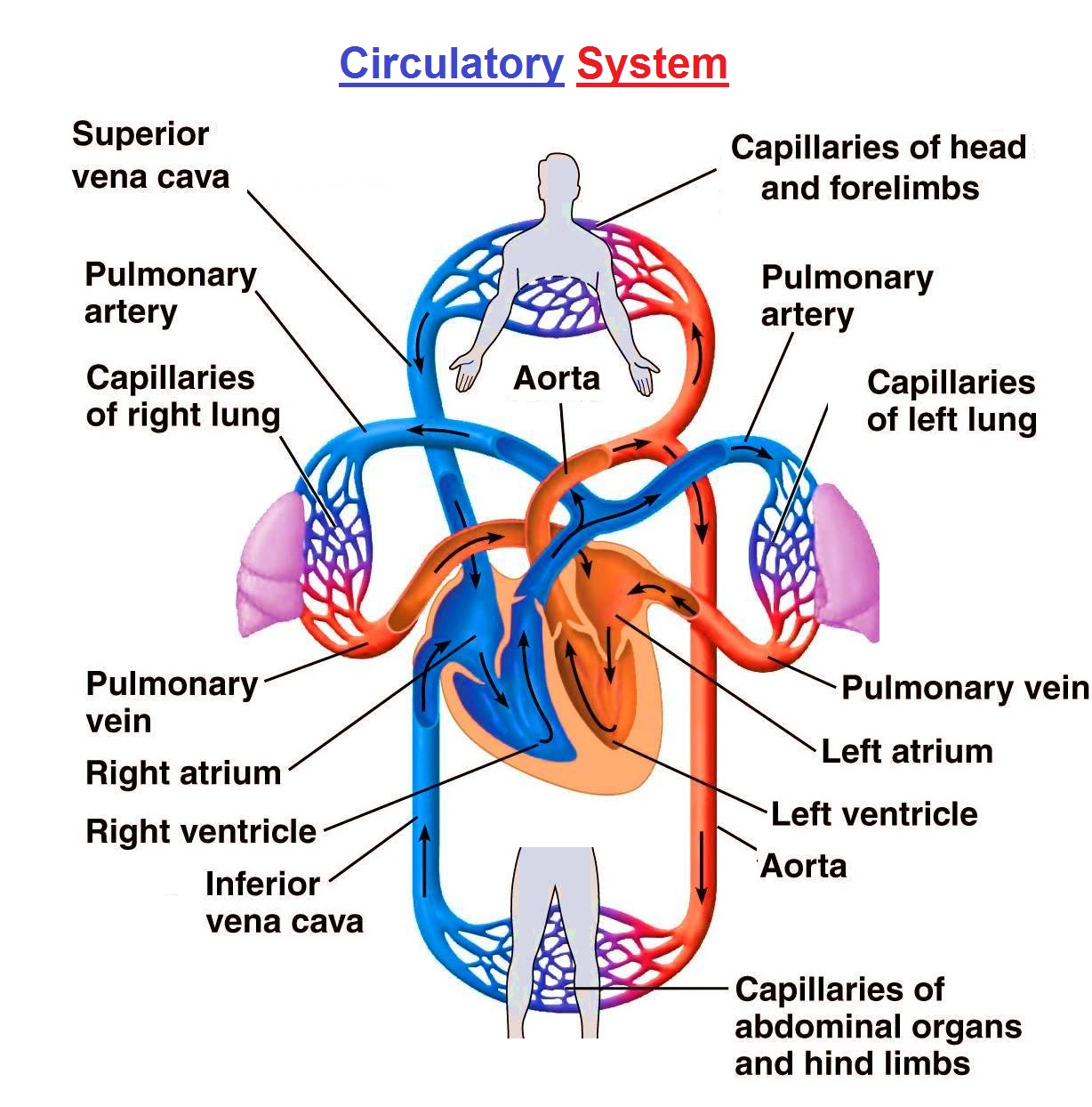 Circulatory System Diagrams Chart Diagram Charts Diagrams