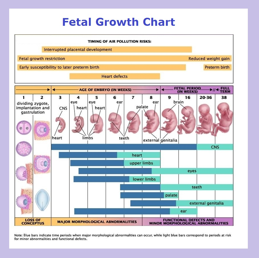 Fetus growth chart diagram charts diagrams graphs best