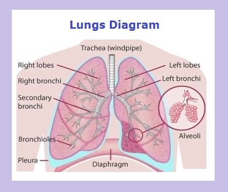 Lung diagram chart diagram charts diagrams graphs best lungs diagram ccuart Images