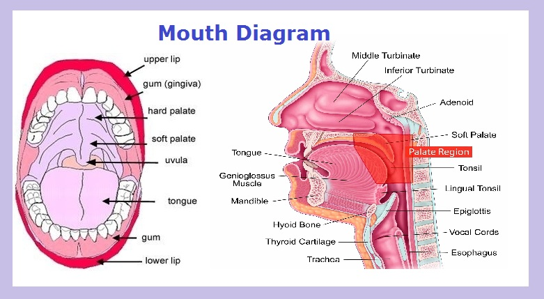mouth-diagram