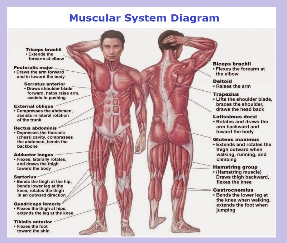 muscular system explained | Chart Diagram - Charts, Diagrams, Graphs ...