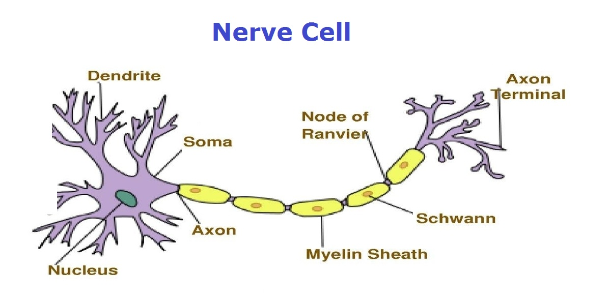 nerve-cell