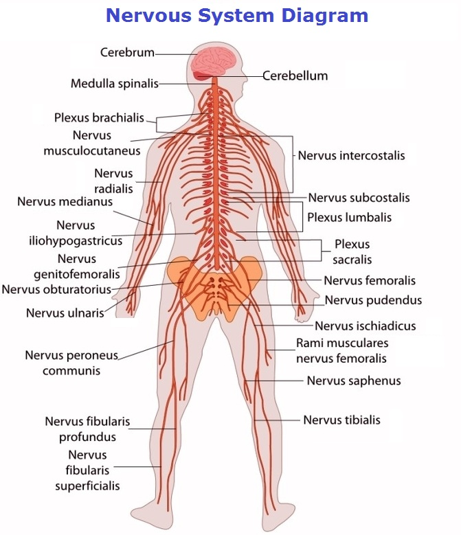 Nervous system charts chart diagram charts diagrams graphs nervous system diagram posted in anatomy tagged human ccuart