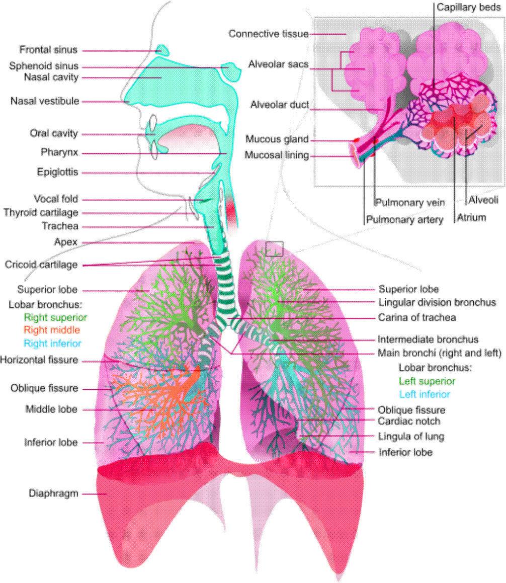 respiratory-system-diagram