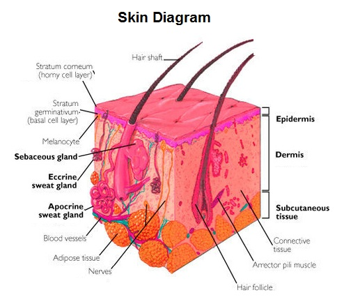 Diagrams of skin search for wiring diagrams skin chart diagram charts diagrams graphs best images tables rh chartdiagram com diagram of skin quiz diagram of skin pressure areas ccuart Gallery