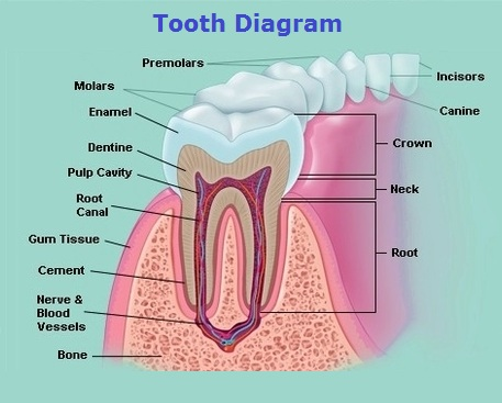 teeth-diagram
