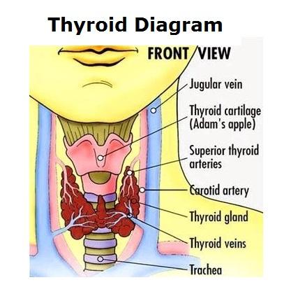 thyroid-diagram