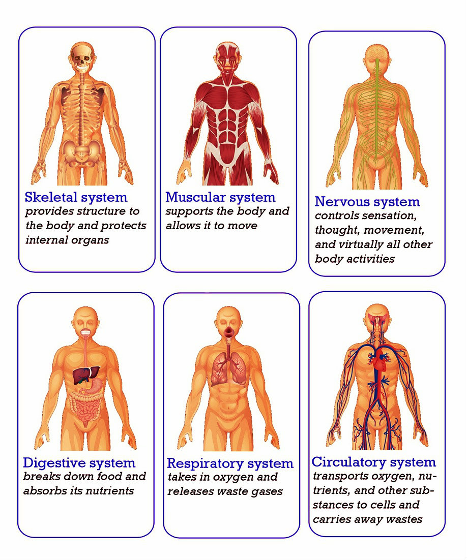 Human organs body organs systems chart diagram charts body organs systems pooptronica