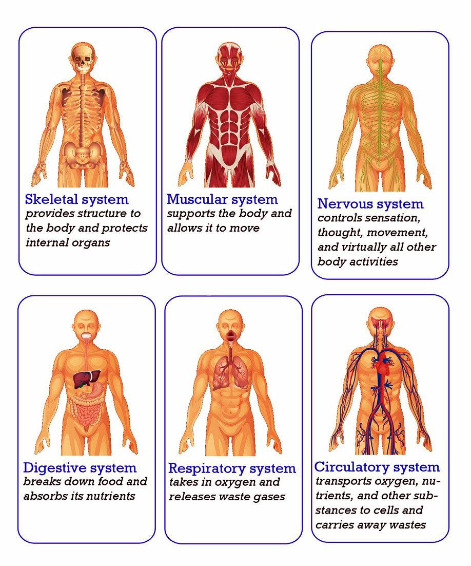 Body Organs Systems