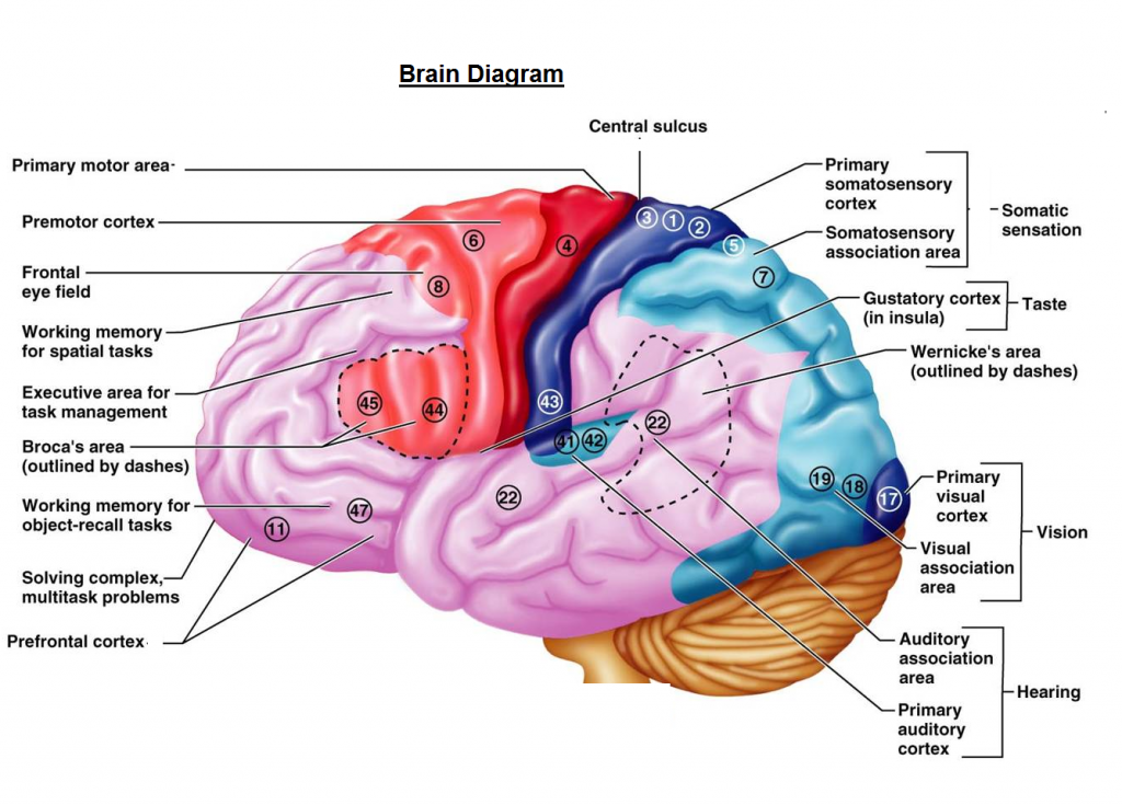 Brain Chart - Brain Diagram - Human Brain
