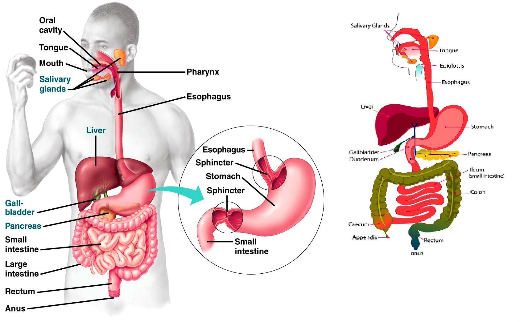 Digestive System Diagram Chart Charts Diagrams Graphs