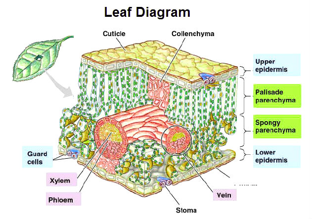 leaf-diagram