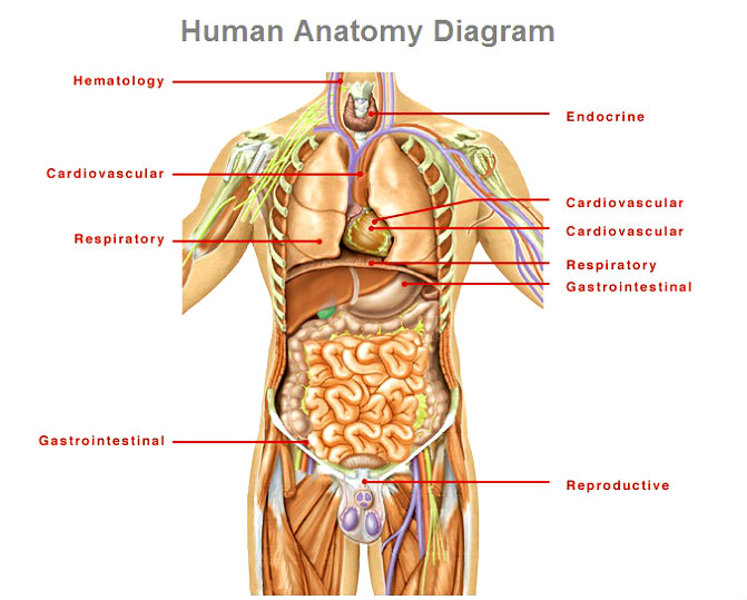 anatomy-diagram