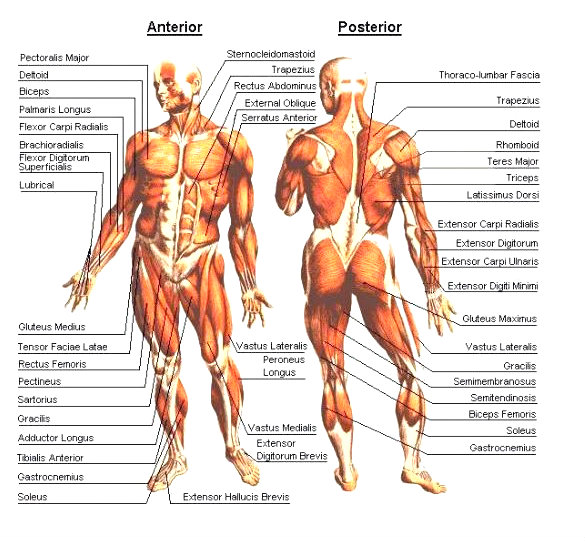 muscle-diagram