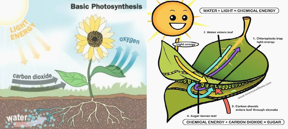 photosynthesis-diagram