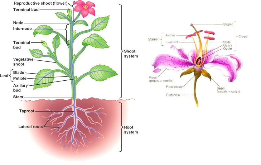 plant-diagram