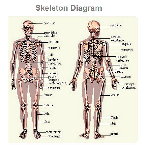 skeleton-diagram